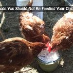 10 Foods You Should Not Be Feeding Your Chickens