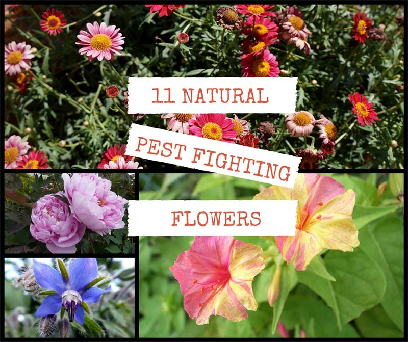 11 Pest Fighting Flowers