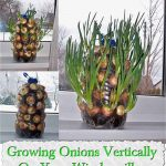 Growing Onions Vertically On Your Windowsill