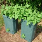How To Grow Lots Of Potatoes In A Trash Can
