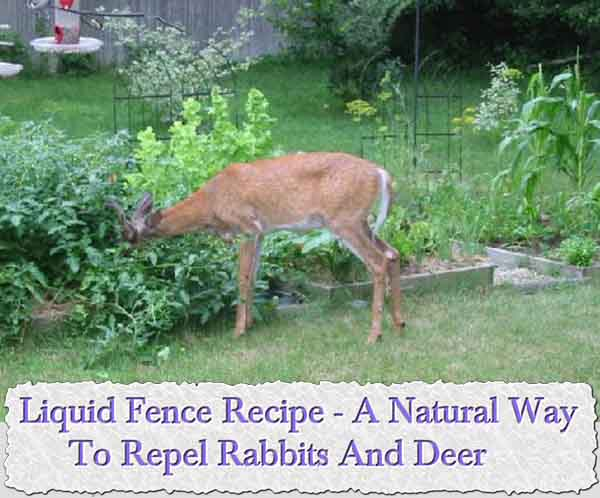 Liquid fence recipe a natural way to repel rabbits and - How to deter rabbits from garden ...