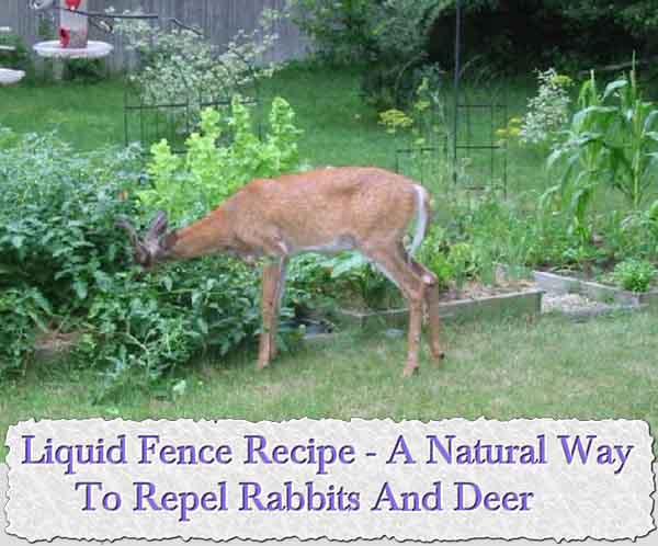 Liquid Fence Recipe A Natural Way To Repel Rabbits And