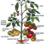 Organic Tomato Garden Tips