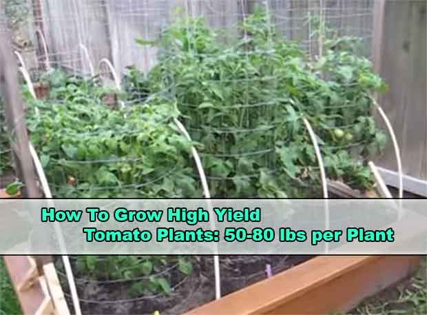 What is the best way to grow tomatoes?