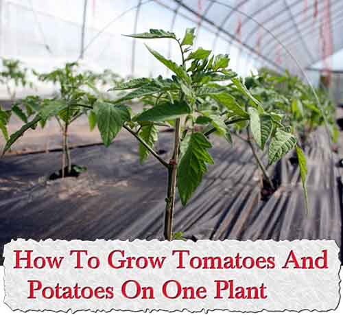 howtogrowtomatoesandpotatoesononeplant, Natural flower