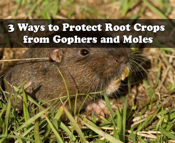 3 Ways to Protect Root Crops from Gophers and Moles