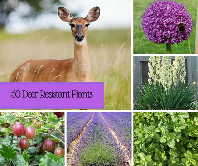 50 Beautiful, Deer-Resistant Plants