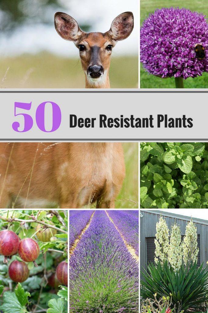 50 Deer Resistant Perennial Plants