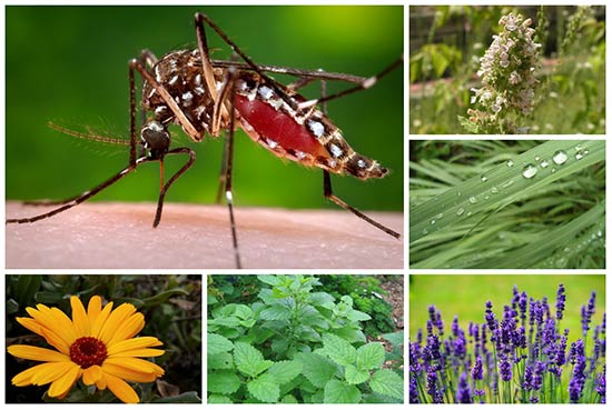 7 Plants to Rid You of Pesky Mosquitos