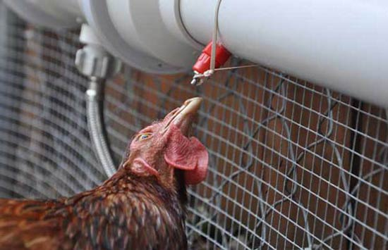 Automatic Watering Tube For Your Chickens