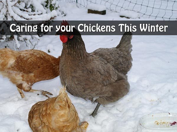 Caring for your Chickens This Winter