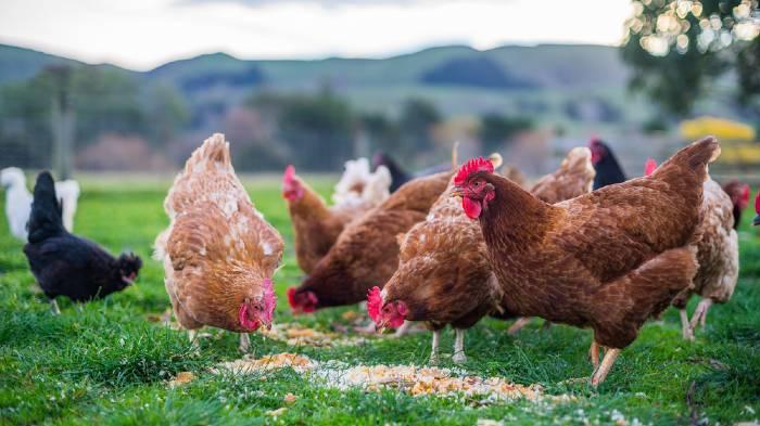 Homemade Chicken Feed