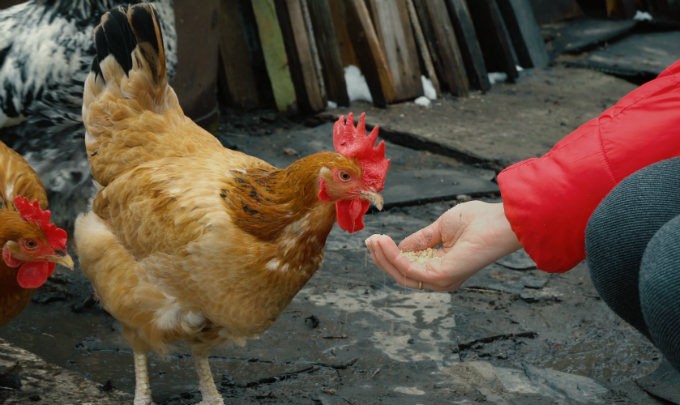 Chickens Immune Systems Strong and Healthy