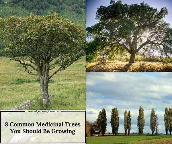 8 Medicinal Trees You Should Be Growing on your Homestead