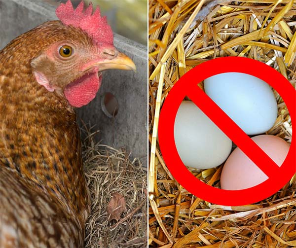Reasons Your Hens Are Not Laying Eggs
