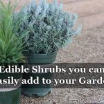 Edible Shrubs you can easily add to your Garden