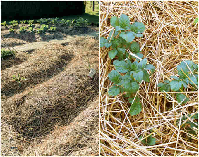 Grow Potatoes In Straw