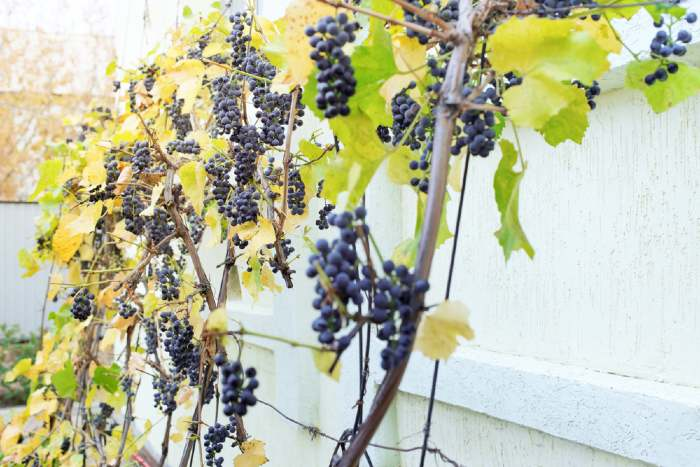 Growing Grapes In Containers