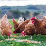 Homemade Chicken Feed For Healthy And Inexpensive Backyard Flocks