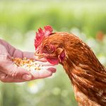 Homemade Chicken Feed Recipe