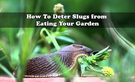 How To Deter Slugs from Eating Your Garden