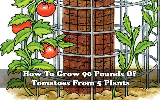 How To Grow 90 Pounds Of Tomatoes From 5 Plants