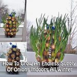 How To Grow An Endless Supply Of Onions Indoors All Winter