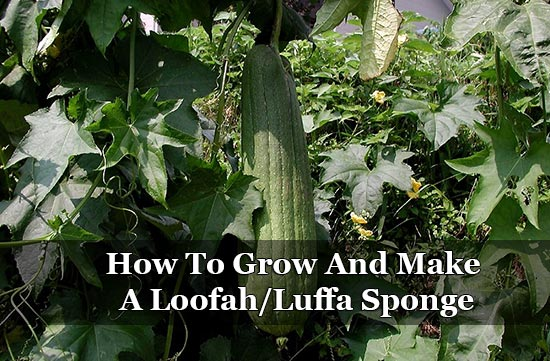 How To Grow And Make A Loofah/Luffa Sponge