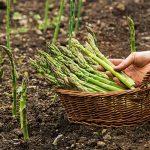 How To GrowAsparagus