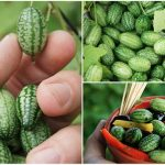 How To Grow Cucamelons: Grape Sized Cukes