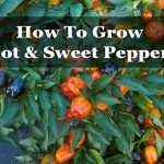 How To Grow Hot & Sweet Peppers