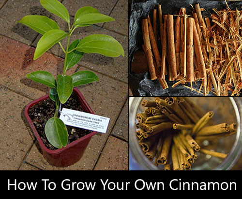 How To Grow Your Own Cinnamon