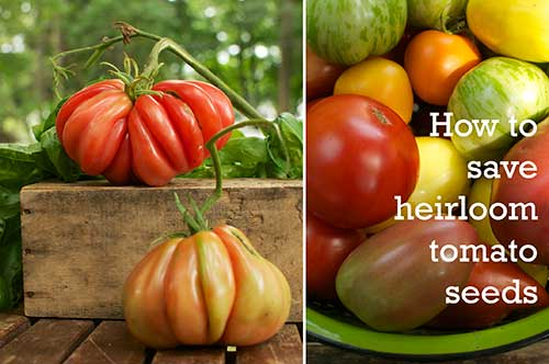How To Save Heirloom Seeds For Next Spring
