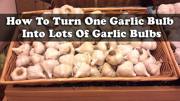How To Turn One Garlic Bulb Into Lots Of Garlic Bulbs