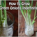How to Grow Green Onions Indefinitely