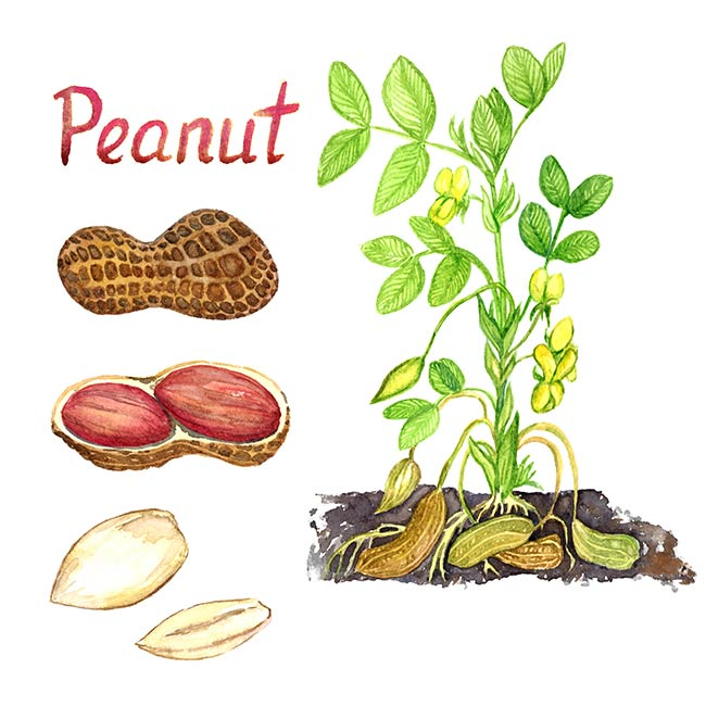 How to Grow Peanuts In or out of Containers