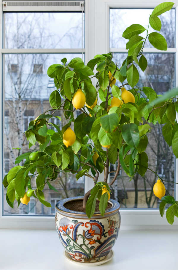 Lemon Tree Indoors