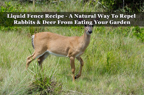 Liquid fence recipe a natural way to repel rabbits deer from eating your garden for How to deter rabbits from garden