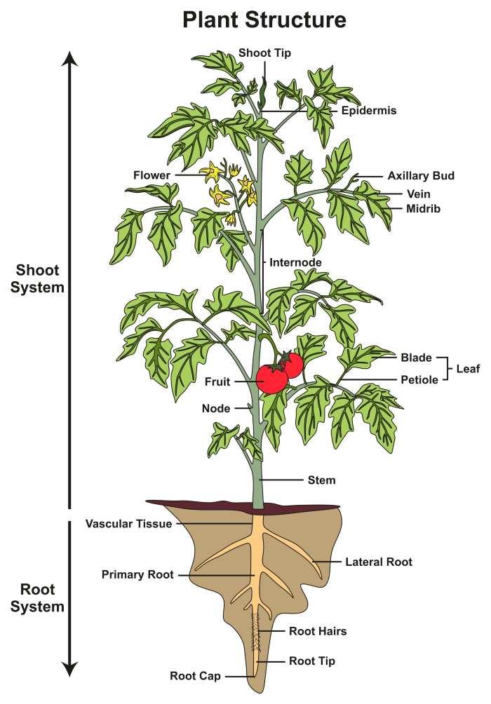 Organic Tomato GardenTips