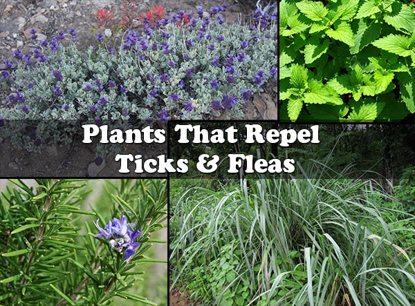 Plants That Repel Ticks & Fleas