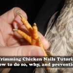 Common Chicken Practices – Trimming Chicken Nails Tutorial