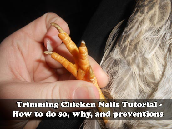 Trimming Chicken Nails