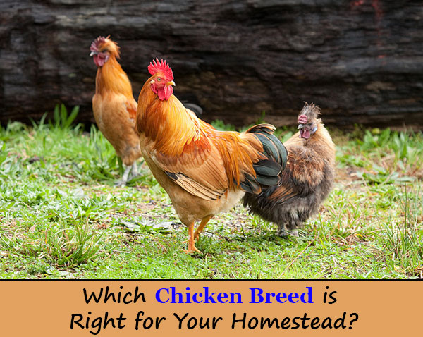 8 Chicken Breeds You Should Own & Why